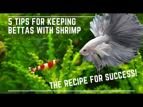 5 Tips To Keep Bettas With Shrimp Successfully