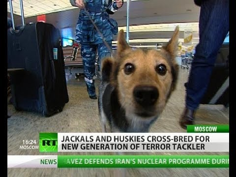 Airport Security Dog Breed