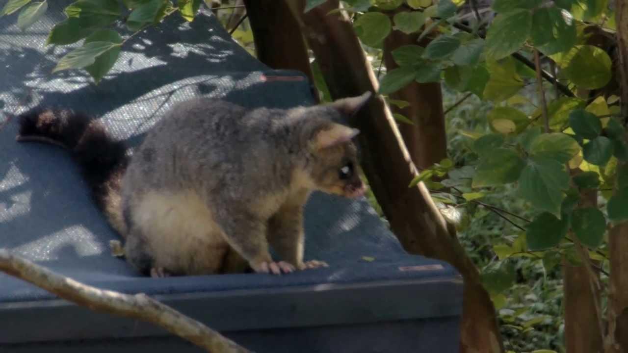 Backyard Possum - YouTube