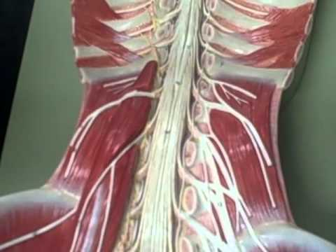 A & P 1 full length spinal cord model Anatomy Physiology 1 student ...