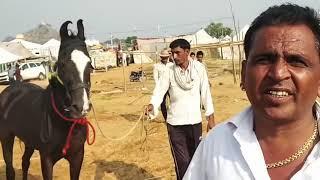 Marwari horse   तूफान लाइन का तूफानी घोड़ा आया गुस्से में