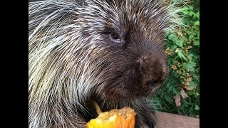 Teddy Bear, The Talking Porcupine, Loves Pumpkin