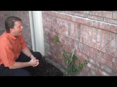 Wire Training Vines Youtube
