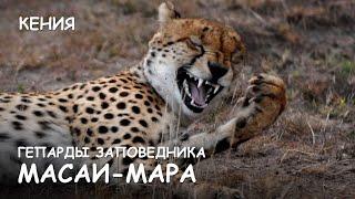 Мир Приключений - Гепарды и шакал. Атака гепардов. Масай Мара. Cheetahs attack. Masai Mara.(Весь цикл фильмов: http://mir-prikliuchenii.com/movies В планах: http://mir-prikliuchenii.com/plans Мир Приключений - Гепарды Масай Мара...., 2014-01-29T15:36:30.000Z)