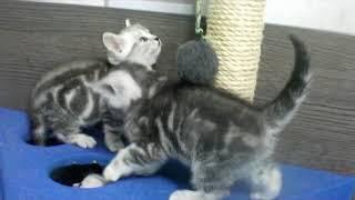 Британские котята окраса черный мрамор на серебре