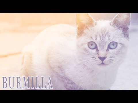 Ideal Companion: Burmilla | Cat Breeding Videos
