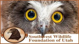 Rescued Sawwhet Owl babies!  Cute little owls with razor sharp talons!