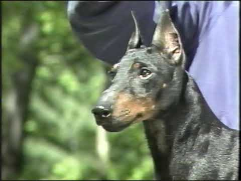 AKC Manchester Terrier Breed Video 1991