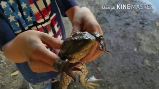 Catching frogs