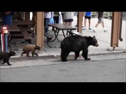 Black Bear Mother and Cubs at Yellowstone