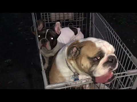 Two Dogs One Cart  👀 English Bulldog vs French Bulldog