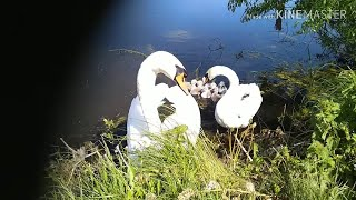 Траппер чеснок. Ловля карася в июне 2019 Гомельская обл. + злые лебеди) Fishing mini carp in Belarus