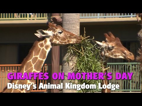Thumbnail: Giraffes on Mother's Day | Disney's Animal Kingdom Lodge