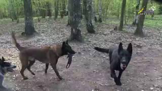 Наблюдение за поведением собак, малинуа приносит овчарке игрушку