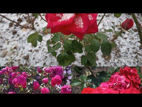 Осенняя обрезка,обработка и укрытие полиантовых роз.