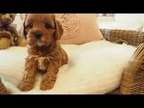 Lavender Toy Cavoodle Girl 5314 - Pocket Puppies