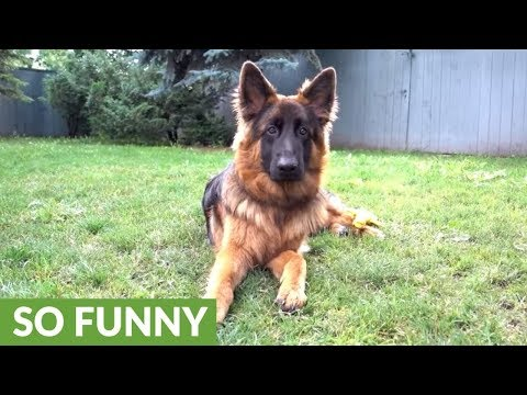 German Shepherd puppy is extremely picky with his toys