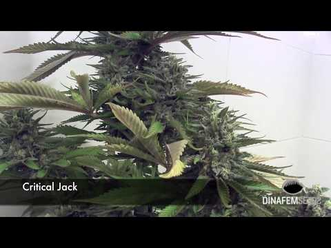 No-Till ProBiotic Organic indoor marijuana gardening from seeds by Dinafem