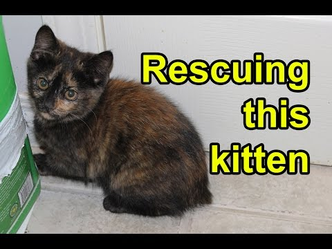 Drop trapping a tortoiseshell manx kitten and her black manx mom