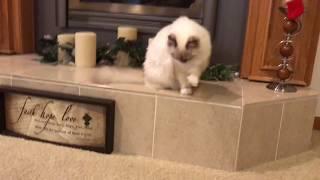 Ragdoll Kitten - котенок-щенок - настоящий друг - замечательное качество рэгдолла