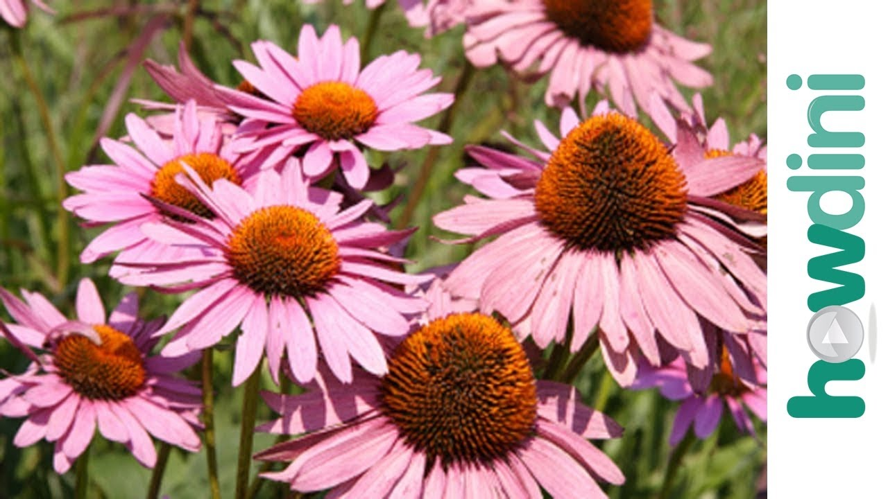 How to plant perennials YouTube