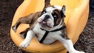 Perros Jugando en Toboganes - Videos de Risas - Perros Chistosos