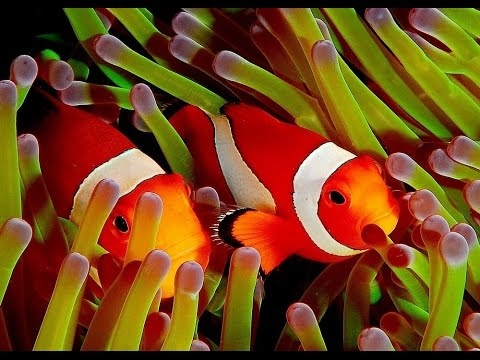 clown fish my animal