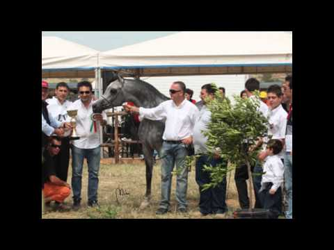 Lazaal video mg arabians cavalli arabi  2012.wmv