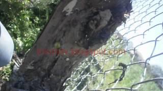 Μπόλιασμα αμπελιού στα Τρίκαλα