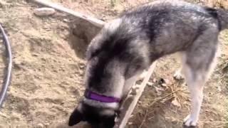 Q And A #1: Mischka The Siberian Husky
