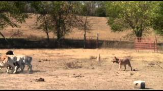"Australian Cattle Dog ""vin"" Herding Sheep At Larry Painter's"