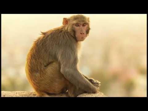 ORESKABAND - Monkey Man