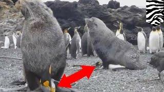 Озабоченные тюлени принуждают к сексу пингвинов