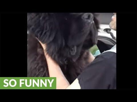 Newfoundland pulls off epic bear impersonation