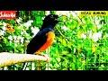 Kicau Burung Murai Batu Ampuh Buat Masteran  Mp3 - Mp4 Download
