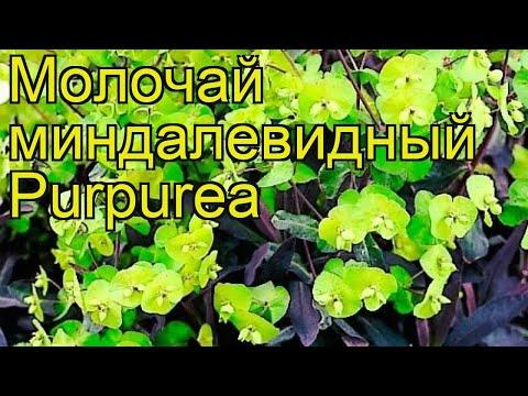 Молочай миндалевидный Пурпуреа. Краткий обзор, описание euphorbia amygdaloides Purpurea