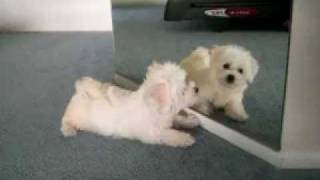 Cute Bichon Maltese Puppy