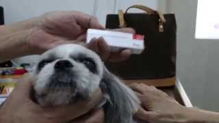 A Shih Tzu Has Eye Cornea And Ear Inflammation