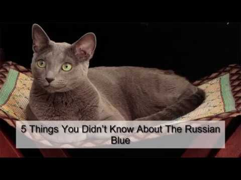 9 Reasons We Love the Russian Blue Cat