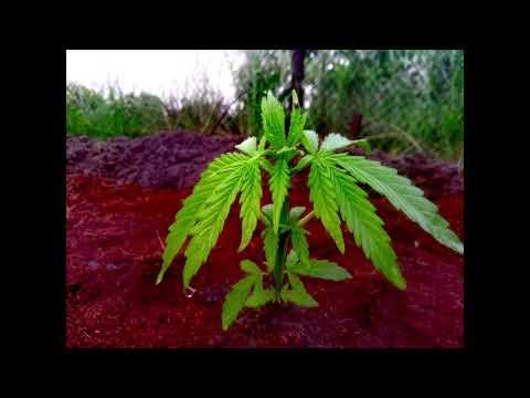 Делимся опытом марихуана купить семена голландской марихуаны