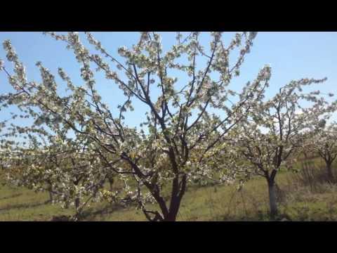 Сорт черешни Крупноплодная