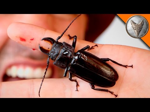 Thumbnail: PINCHED! by a Giant Beetle!