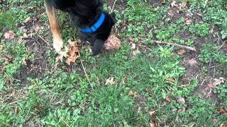 My Dog Axel Hunting Morel Mushrooms