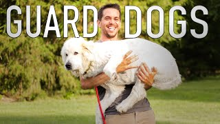 The Care and Training of Livestock Guardian Dogs//The Dogs Of Goat Daddy (Pt.2/3)