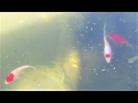 Sarasa Comet [goldfish Pond] From Aquarium Fish Tank