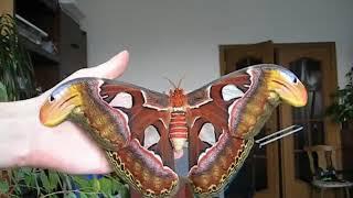 Attacus atlas Самая крупная бабочка в мире размах крыльев до 28см