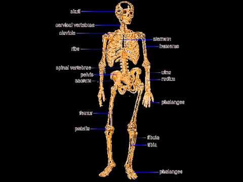 Human Bones Health Education Infection Control Icsp Urdu
