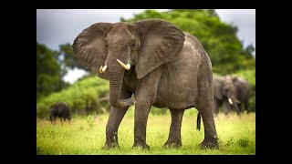 Дикая природа. Слоны Африки. Документальный фильм BBC.