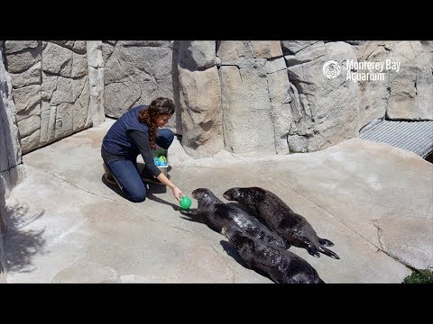 Fun And Games With The Sea Otters!