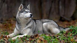 Сибирская Хаски или немного о породе собаки